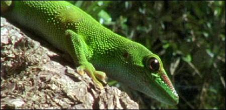 gecko_insecte_miellat.jpg