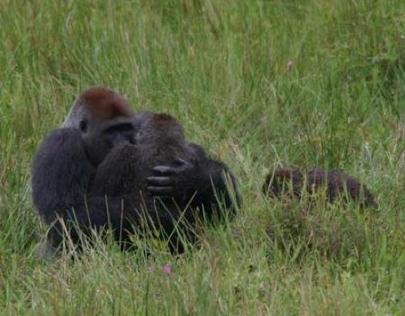 gorilla_mating.jpg