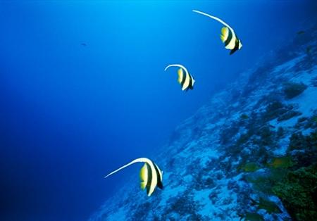 longfin-bannerfish-516504-ga.jpg