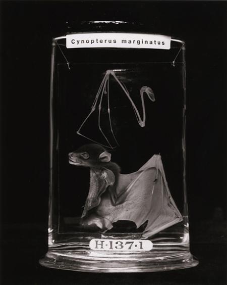 Cynopterus marginatus