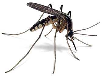 moustique1.jpg