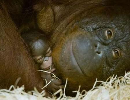 orangutan-baby.jpg