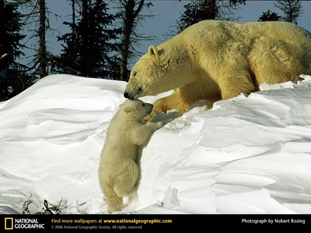 polar-bear-coaxing-baby.jpg